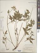 view Hydrophyllum virginianum L. digital asset number 1