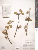 view Quercus dunnii Kellogg ex Curran digital asset number 1
