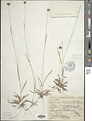 view Rhynchospora ciliaris (Michx.) C. Mohr digital asset number 1