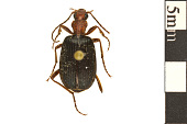 view Bombadier Beetle digital asset number 1