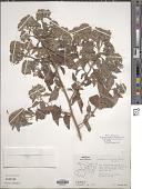 view Salpianthus aequalis Standl. digital asset number 1