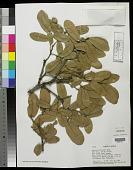 view Quercus arizonica Sarg. digital asset number 1