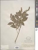 view Itea yunnanensis Franch. digital asset number 1