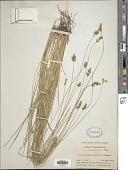 view Carex echinata subsp. phyllomanica (W. Boott) Reznicek digital asset number 1