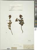view Osbeckia leschenaultiana DC. digital asset number 1