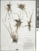 view Rhynchospora globularis digital asset number 1