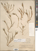 view Sclerochloa dura (L.) P. Beauv. digital asset number 1