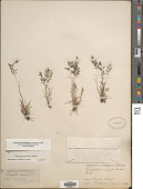 view Eragrostis minor (L.) P. Beauv. digital asset number 1