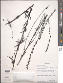view Buchnera hispida Buch.-Ham. ex D. Don digital asset number 1