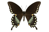 view Black Swallowtail, American Swallowtail, Spicebush Swallowtail digital asset number 1
