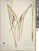 view Carex utriculata Boott digital asset number 1