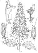 view Stenostephanus pyramidalis (Lindau) Wassh. digital asset number 1
