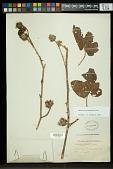 view Hibiscus uncinellus DC. digital asset number 1