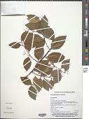 view Gymnosporia vitiensis Seem. digital asset number 1