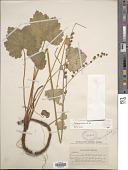 view Tellima grandiflora (Pursh) Douglas ex Lindl. digital asset number 1
