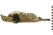 view Ruffed Grouse digital asset number 1