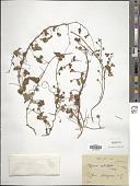 view Ipomoea acetosellifolia (Desr.) Choisy digital asset number 1