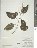 view Cestrum aurantiacum Lindley digital asset number 1