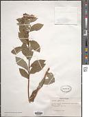 view Spiraea japonica L. f. digital asset number 1
