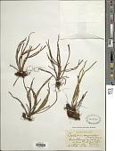 view Cochlidium seminudum (Willd.) Maxon digital asset number 1
