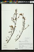 view Hibiscus humbertianus Hochr. digital asset number 1