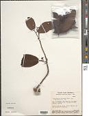 view Pera bicolor (Klotzsch) Müll. Arg. digital asset number 1