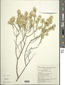view Olearia subspicata (Hook.) Benth. digital asset number 1