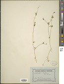 view Actinotus gibbonsii F. Muell. digital asset number 1