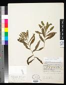 view Potamogeton alpinus Balb. x P. nodosus Poir. digital asset number 1
