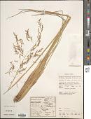 view Deschampsia klossii Ridl. digital asset number 1