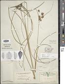 view Cyperus elegans L. digital asset number 1