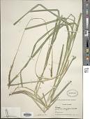 view Carex phleoides Cav. subsp. phleoides digital asset number 1