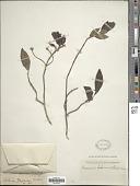 view Chomelia boliviana Standl. digital asset number 1