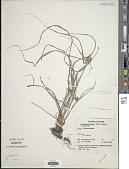 view Cyperus dubius Rottb. var. dubius digital asset number 1