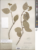 view Decumaria barbara L. digital asset number 1