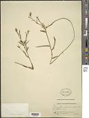 view Piriqueta cistoides subsp. caroliniana (Walter) Arbo digital asset number 1