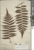 view Cyathea macrocarpa (C. Presl) Domin digital asset number 1