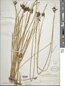 view Schoenoplectus americanus (Pers.) Volkart ex Schinz & R. Keller digital asset number 1