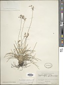 view Fimbristylis cymosa subsp. spathacea (Roth) T. Koyama digital asset number 1