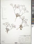 view Eriogonum reniforme Torr. & Frém. digital asset number 1