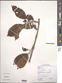 view Siparuna decipiens (Tul.) A. DC. digital asset number 1