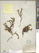view Cassiope tetragona (L.) D. Don digital asset number 1