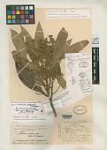 view Nectandra matogrossensis Coe-Teix. digital asset number 1