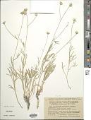 view Lepidolopha komarowii C. Winkl. digital asset number 1