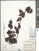 view Bredemeyera bracteata var. glabra A.W. Benn. digital asset number 1