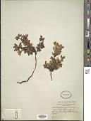 view Arctostaphylos alpina (L.) Spreng. digital asset number 1