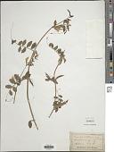 view Vicia grandiflora Scop. digital asset number 1