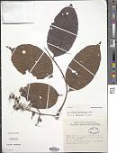 view Lannea welwitschii digital asset number 1