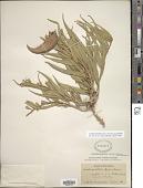 view Asclepias asperula (Decne.) Woodson subsp. asperula digital asset number 1
