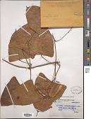 view Dioscorea petelotii Prain & Burkill digital asset number 1
